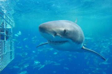 shark cage diving port lincoln great white south australia