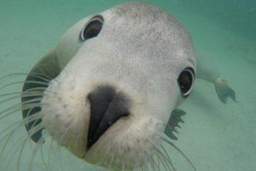 swim with sea lions port lincoln australia calypso start charters