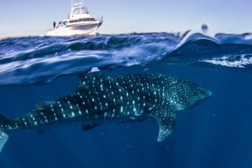 whale shark snorkel tour swim exmouth ningaloo western australia wa exmouth dive diving centre